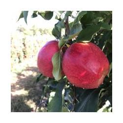 Pommes à croquer GALA