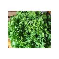 Salade batavia 1 unité